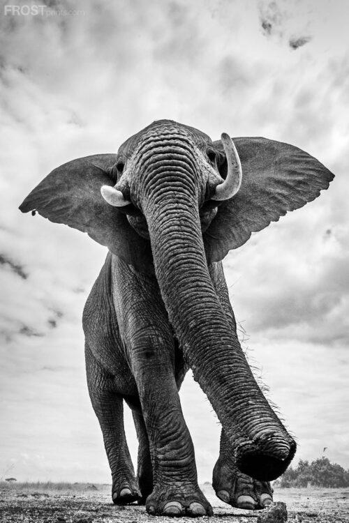 Giants Elephant Print Collection