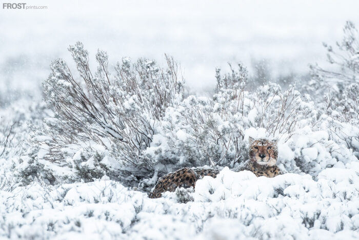 Cheetah Wildlife Print