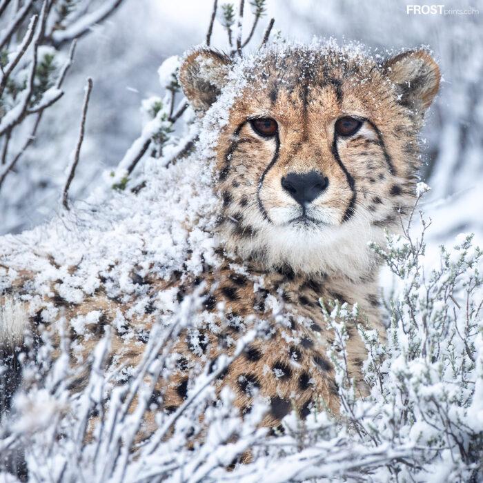 Cheetah in Snow Photo
