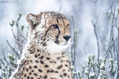 Cheetah in Snow Print