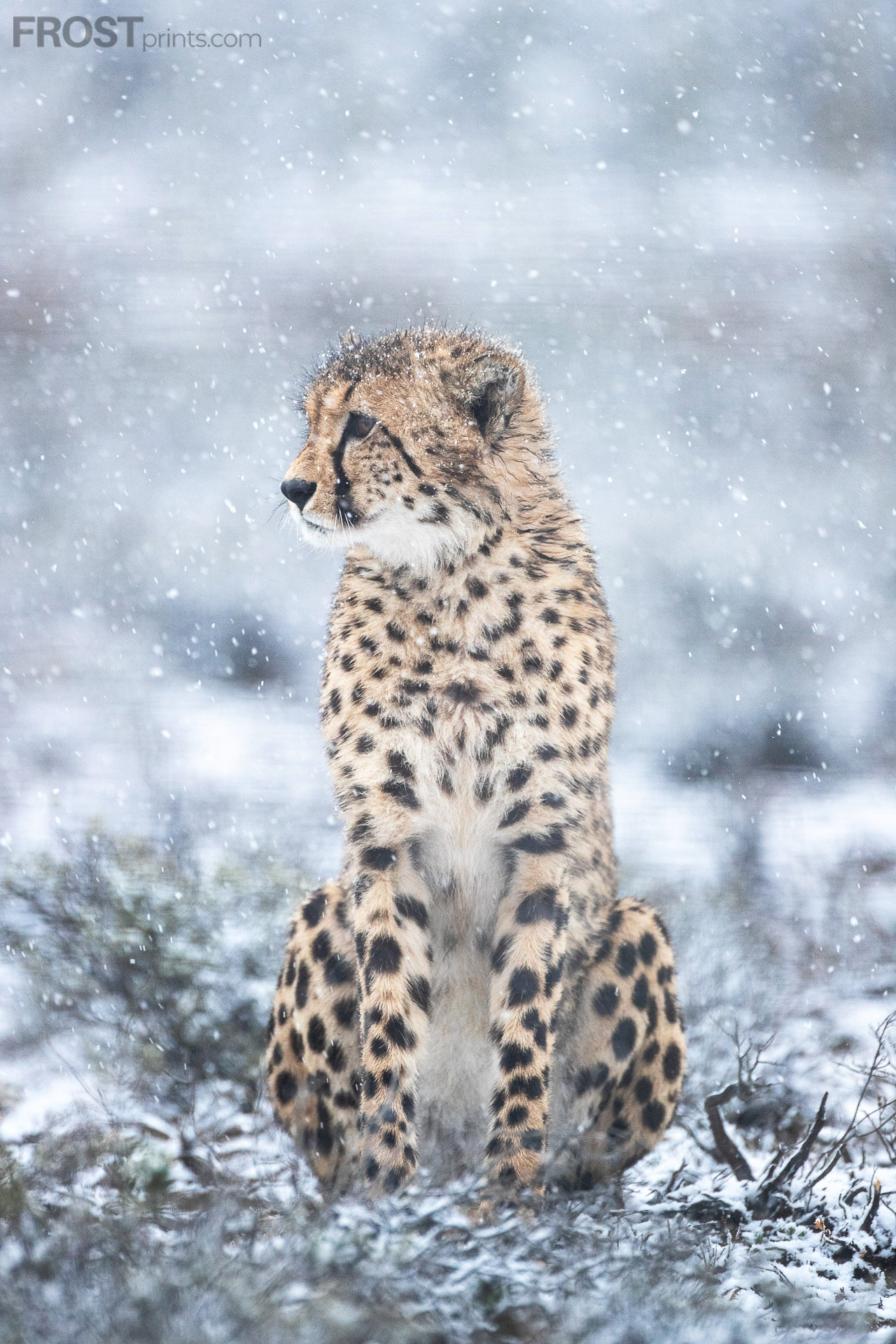 Ice Cats of Africa Prints