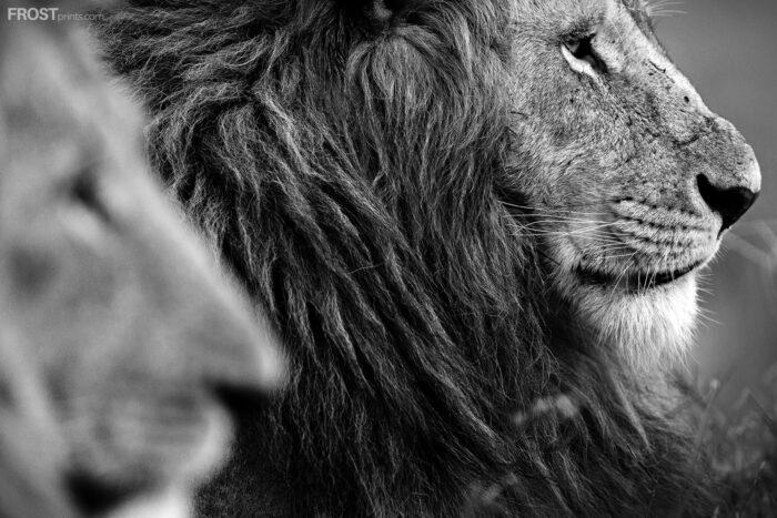 Lion Wildlife Print